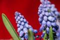 Muscari \'Grape Hyacinth\'